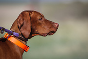 SHOT 5/9/20 8:37:32 AM - Various pointing breeds compete in the Vizsla Club of Colorado Licensed Hunt Test Premium at the Rocky Mountain Sporting Dog Club Grounds in Keenesburg, Co. (Photo by Marc Piscotty / © 2020)