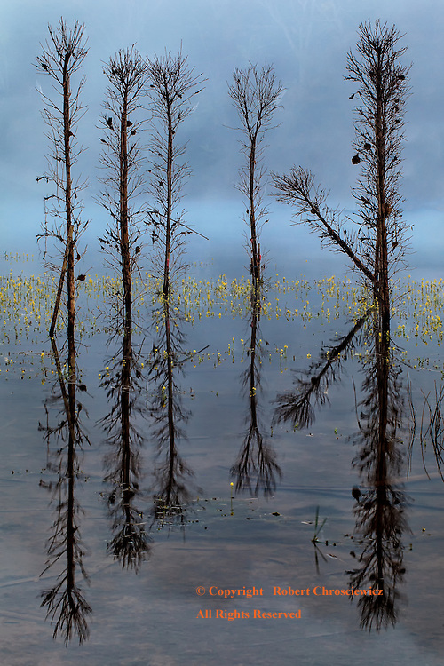 Surreal Reflection: The still water of Khao Laem Reservoir reflects, through the fog, a most surreal mirror image of the flooded trees and flowering grass in Sangkhlaburi Thailand.