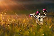 France, Languedoc Roussillon, Lozère (48), Cevennes, fleur de Pulsatille vulgaire, N.L.: Pulsatilla vulgaris,  (Renonculacées)