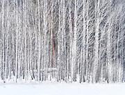 Vibrant Winter Aspen Grove With Pondersoa Pine, Washington State
