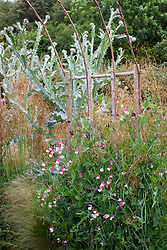 Hazel tunnel with Onopordum acanthium, Stipa gigantea and Lathyrus odoratus 'Painted Lady' - sweet pea