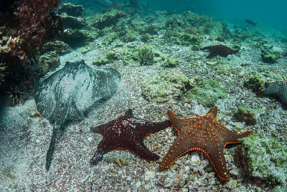 Southern diamond stingray (Dasyatis dipterura)<br /> Rabida Island<br /> Galapagos<br /> Pacific Ocean<br /> Ecuador, South America