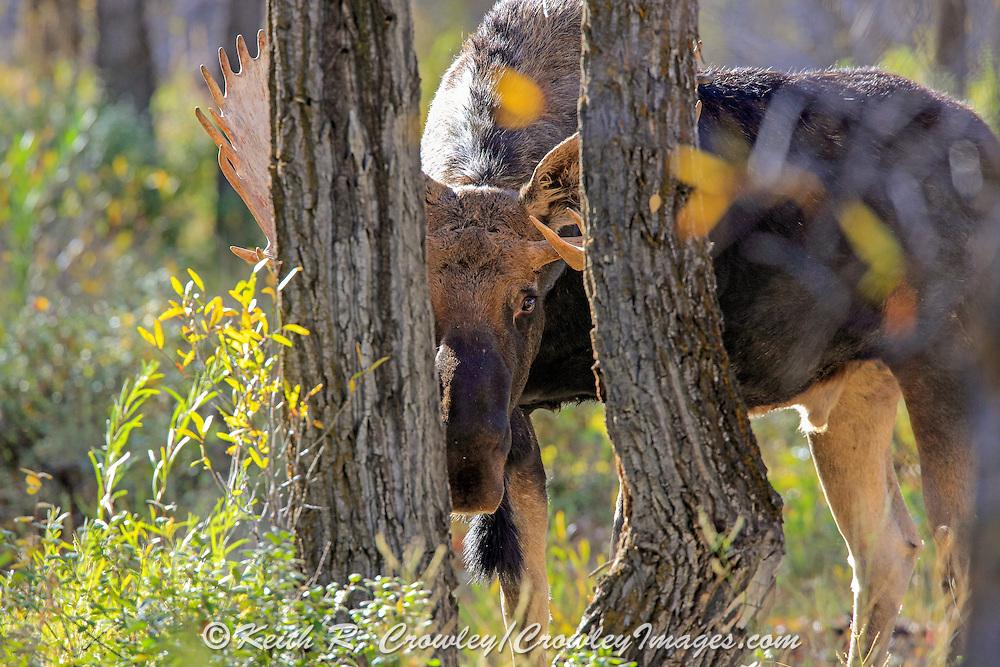 A Bull Moose Hides Behind Trees