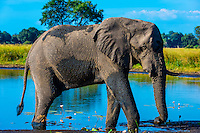 Elephant at watering hole, near Kwara Camp, Okavango Delta, Botswana.
