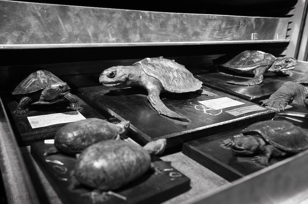Turtle at the Tulane Natural History Museum.