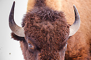 19 FEBRUARY 2021 - PRAIRIE CITY, IOWA: American Bison at the Neal Smith National Wildlife Refuge near Prairie City, about 45 minutes from downtown Des Moines. The Wildlife Refuge has the largest herd of wild bison in Iowa and the only herd of wild elk in Iowa. Both animals were once native to Iowa and common in the state, but were hunted to extinction in 19th century. Controlled herds were reintroduced in the mid 20th century. Both the bison and elk herds are carefully managed to maintain genetic diversity.    PHOTO BY JACK KURTZ