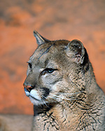 Close-up portrait of mountain lion with sandstone background, [captive, controlled conditions] © David A. Ponton