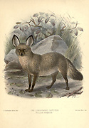"The bat-eared fox (Otocyon megalotis) [Here as Long-eared Cape Dog] is a species of fox found on the African savanna, named for its large ears, which are used for thermoregulation. Fossil records show this canid first appeared during the middle Pleistocene, about 800,000 years ago. It is considered a basal canid species, resembling ancestral forms of the family, It has also been called a Sub-Saharan African version of a fennec fox due to their huge ears. The bat-eared fox (also referred to as Delalande's fox, long-eared fox, big-eared fox, and black-eared fox) has tawny fur with black ears, legs, and parts of the pointed face. It averages 55 centimetres (22 in) in length (head and body), with ears 13 centimetres (5.1 in) long. It is the only species in the genus Otocyon. The name Otocyon is derived from the Greek words otus for ear and cyon for dog, while the specific name megalotis comes from the Greek words mega for large and otus for ear. [3] From the Book Dogs, Jackals, Wolves and Foxes A Monograph of The Canidae [from Latin, canis, ""dog"") is a biological family of dog-like carnivorans. A member of this family is called a canid] By George Mivart, F.R.S. with woodcuts and 45 coloured plates drawn from nature by J. G. Keulemans and Hand-Coloured. Published by R. H. Porter, London, 1890"