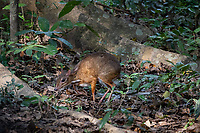 The lesser mouse-deer or kanchil (Tragulus kanchil), also known as the lesser Malay chevrotain, is a species of even-toed ungulate in the Tragulidae family. It is found in Indochina, Burma (isthmus of Kra), Brunei, Cambodia, China (S Yunnan), Indonesia (Kalimantan, Sumatra, and many small islands), Laos, Malaysia (peninsular Malaya, Sarawak, and many small islands), Singapore, Thailand, and Vietnam.