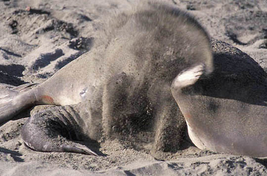Northern Elephant Seal, (Mirounga angustirostris)  Newborn pup gets sand flipped into its face. Central California.