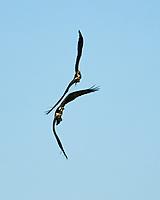 Osprey (Pandion haliaetus). Fort De Soto County Park. St. Petersburg, Florida. Image taken with a Nikon D700 camera and 28-300 mm VR lens.