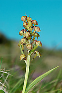 FROG ORCHID Coeloglossum viride (Orchidaceae) Height to 20cm. A short and compact orchid, mostly found on calcareous grassland. FLOWERS are fancifully frog-like; the sepals and upper petals form a greenish hood and the lip is 6-8mm long and yellowish-brown; the flowers are borne in an open spike (Jun-Aug). FRUITS form and swell at the base of the flowers. LEAVES are broad, oval and form a basal rosette, with narrower leaves partially sheathing the lower part of the stem. STATUS-Widespread and locally common on chalk downs in the S, and N upland pastures.
