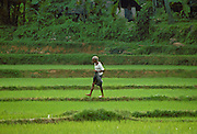 An elderly  man, walking through a field, in Sri Lanka.