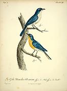 Male and Female Gobemouche bleu Cyanoptila cyanomelana - Blue-and-white Flycatcher from the Book Histoire naturelle des oiseaux d'Afrique [Natural History of birds of Africa] Volume 4, by Le Vaillant, Francois, 1753-1824; Publish in Paris by Chez J.J. Fuchs, libraire 1805