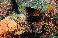 Threespot Damselfish, Stegastes planifrons, (Cuvier, 1830), Grand Cayman