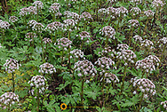 Western coltsfoot flowers in Olympic National Park, Washinton, USA