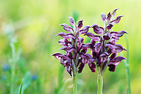 Anacamptis coriophora ssp. fragrans; Apulia; Fragrant Bug Orchid; Gargano Peninsula; Italy; Vieste