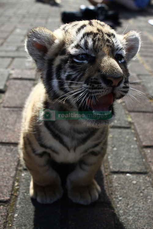 August 4, 2017 - Jakarta, West Java, Indonesia - Veterinarians and keepers sunning two Bengal Tiger cubs at the Bandung Zoo, Bandung, West Java, on August 4, 2017. A couples of Bengal Tigers, Sylla (8) and Sahrukh Khan (15) at Bandung Zoo gave birth a couple of Bengal Tiger cubs with their own weight 4,5 kg (male) and 4,9 (female) on June 25. The Bengal tiger is one of five extinct species of tiger. One of the causes is the shrinkage of tiger habitat in the Sundarbans mangrove forest area due to sea waters flood caused by the impact of global warming. (Credit Image: © Aditya Irawan/NurPhoto via ZUMA Press)