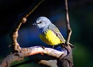 Western Yellow Robin, Yelverton, Shire of Augusta-Margaret River, Western Australia