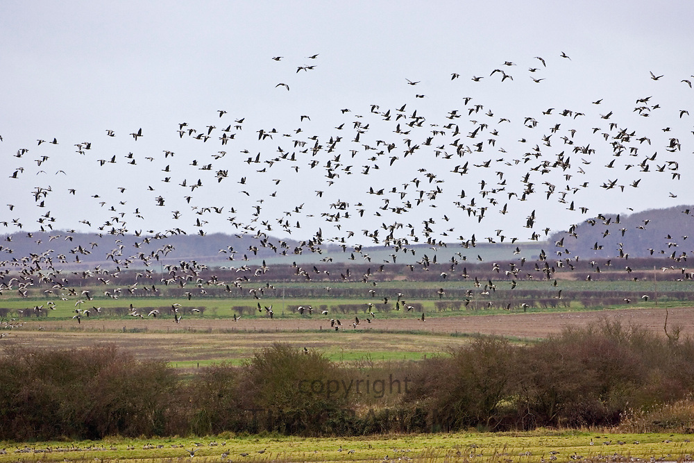 Migrating Pink-Footed geese over-wintering at Holkham, North Norfolk coast, East Anglia, Eastern England