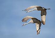 Two sandhill cranes come in for a landing in a field in Los Ranchos de Albuquerque, New Mexico