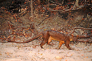 Fossa (Cryptoprocta ferox) walking in sand along forest border, endangered, Madagascar