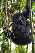 Gorilla baby climbing in bamboo tree | Gorillabarn klatrer i bambustrær.