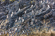 Endangered species Common Guillemot or Common Murre colony of seabirds, Uria aalge, of the auk family (part of the order Charadriiformeson) on rocks on Isle of Canna part of the Inner Hebrides and Western Isles in West Coast of Scotland