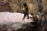 Brown Capuchin Monkeys Tool Using<br />Cebus apella<br />Cerrado Habitat, Piaui State.  BRAZIL.  South America<br />Dominant Male is about to crack palm nut open with rock and younger monkey is hoping for a free snack