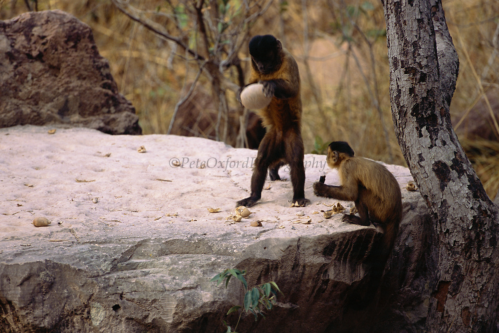Brown Capuchin Monkeys Tool Using<br />