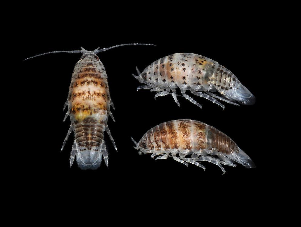 Speckled Sea Louse - Eurydice pulchra