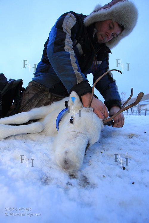 Sami herder, Nils Ole Oskal, fits reindeer with ear tag identification; Tromso, Norway.