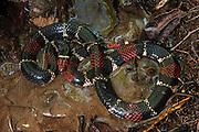 Surinam Coral Snake (Micrurus surinamensis)<br /> Amazon<br /> ECUADOR<br /> Vivarium ID # 3690<br /> Captive