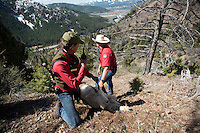 Wyoming Game & Fish wildlife biologist Gary Fralick, left, radios their location to other biologists while hauling the sedated mountain goat down a hillside outside Alpine last week.