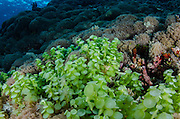 Green Mermaid's Wine Glass (Acetabularia ?)<br /> Cenderawasih Bay<br /> West Papua<br /> Indonesia