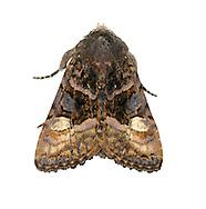 Small Angle Shades - Euplexia lucipara