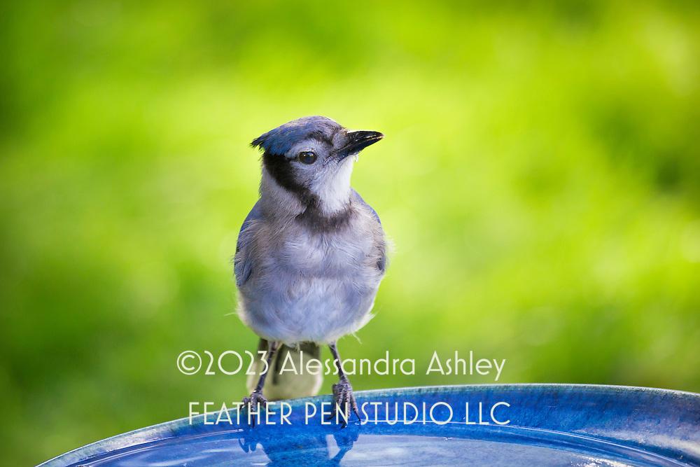 Juvenile blue jay (Cyanocitta cristata) in between sips at birdbath. Backyard setting, central Ohio.