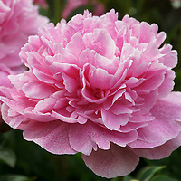 """""""Pink Sorbet""""<br /> <br /> Beautiful full blossom Peony in shades of pink!"""