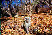 A Ververt monkey sitting on autumn leaves in the forest, Zimbabwe, Africa.