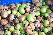 Looking down from above at a pile of rotting apples