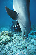 JoJo, a wild sociable bottlenose dolphin, Tursiops truncatus, or ambassador dolphin, is fascinated by the activities of a diver off Providenciales ( Provo ), Turks and Caicos Islands ( Western Atlantic Ocean )