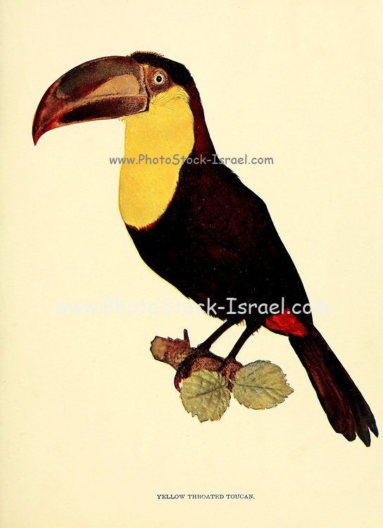 Yellow-throated toucan (Ramphastos ambiguus) is a large toucan in the family Ramphastidae found in Central and northern South America. From Birds : illustrated by color photography : a monthly serial. Knowledge of Bird-life Vol 1 No 1 January 1897
