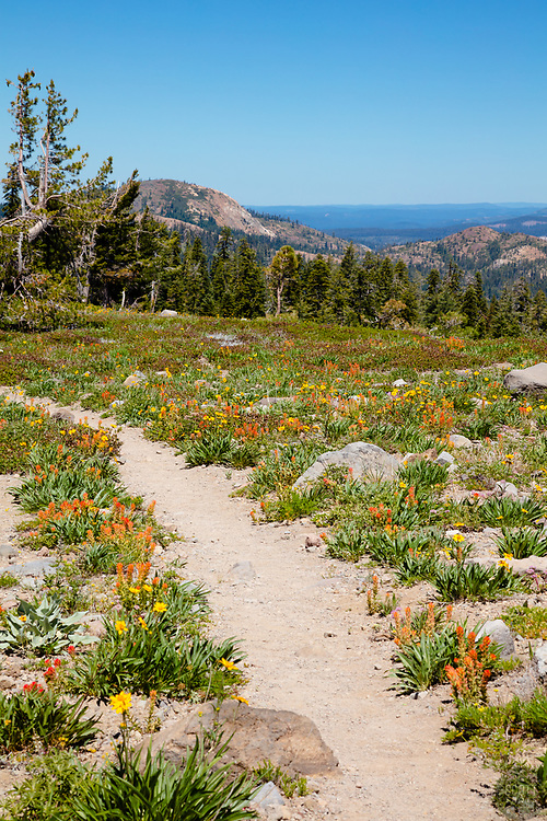 """""""Wildflowers in the Tahoe Back Country 3"""" - Photograph of some wildflowers along a hiking trail in the Tahoe area back country, somewhat near Jackson Meadows."""