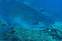 Tiger Shark Makes a Close Pass