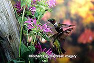 01162-05802 Ruby-throated Hummingbird (Archilochus colubris) male & female at Bee Balm (Monarda sp.) Shelby Co. IL