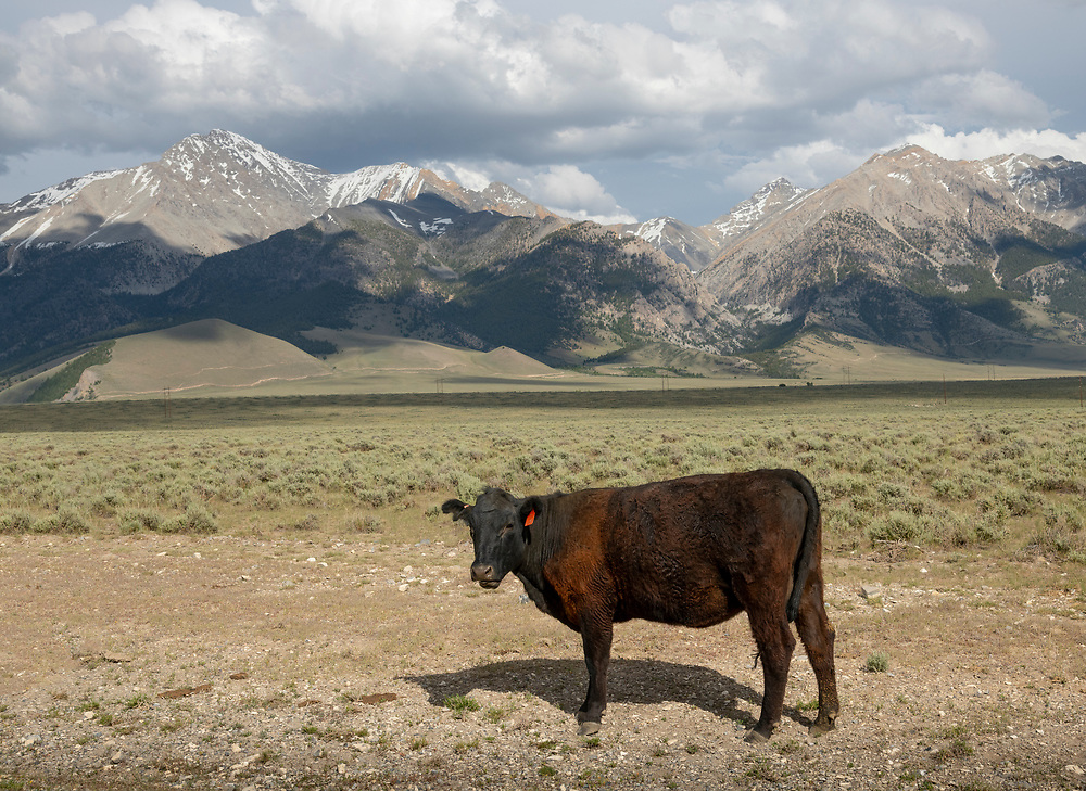 A black angus cow roams the open range of Idaho at the base of Idaho's tallest peak, Mount Borah, and the Lost River Range of Mountains just north of Mackay. Licensing and Open Edition Prints.