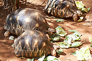 Madagascar, Radiated tortoise (Geochlene radiata) also known as 'Sokatra'. The tortoise is noticeable for the beautiful yellow beams on its shell which sprout out from the centre of each plate. Photographed in Madagascar.