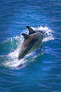 Bottlenose dolphins, Mandurah, Western Australia