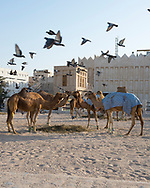 Camels with bound feet feed in around straw placed on the ground as pigeons fly overhead in Doha, Qatar