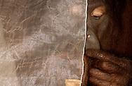 Deutschland, DEU, Krefeld, 2004: Projekt ueber die biologischen Wurzeln der Mode. Die Shootings hierfuer wurden mit Grossen Menschenaffen, die dem Menschen am naechsten sind, im Krefelder Zoo gemacht. Die Tiere waren weder zahm noch trainiert. Die Kleidungsstuecke wurden in die Gehege geworfen und was immer die Tiere damit anstellten, taten sie aus sich selbst heraus. Ein Eingreifen oder gar eine Regie war unmoeglich. Da das Verhalten der Affen im Mittelpunkt stand, wurden die Hintergruende von den Originalfotografien entfernt. Orang-Utan-Weibchen Sita mit einem Kleidungsstueck, gesehen bei Die Wohnung in Muenchen. | Germany, DEU, Krefeld, 2004: Project to look at the basics and roots of fashion. The shootings took place in the Zoo Krefeld with three species of Great Apes who are the nearest to us. The animals were neither tamed nor trained. Whatever the animals did, they did on their own. Any intervention or directing was impossible. To set the focus on the behaviour of the animals itself we removed the background from the original photographs. Orang Utan  (Pongo pygmaues) female Sita with cloth seen at  Die Wohnung in Munich. |